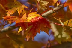 Bumpy (rumimume) Tags: potd rumimume 2016 niagara ontario canada photo canon 550d t2i sigma autum leaf red yellowfall