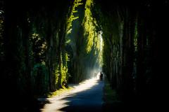 Illuminated Path (nomanson) Tags: cc københavn nørrebro avenue bicycle cemetary contrast graveyard haze light morning path poplar sunlight sunshine trees vpublic walking copenhagen denmark hdr