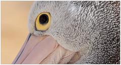 Pelican, Australia (CvK Photography) Tags: animals australia autumn bird canon closeups coast color cvk fall holiday nature pelican victoria wildlife sanremo australi au detail details