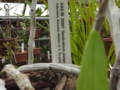 Dendrobium purpureum 1 (heinvanwinkel) Tags: 2012 asparagales bloemvandedag dendrobiinae dendrobiumpurpureum epidendroideae euphyllophyta hortus juni leiden liliopsida magnoliophyta malaxideae mesangiospermae nederland orchidaceae petrosaviidae spermatophyta tracheophyta