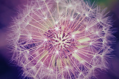 wishes and dreams (***étoile filante***) Tags: dof details bokeh dandelion dandelionseeds nature natur dream dreamy creative colors colorful macro makro magic magie fairytale märchen kreativ emotions emotional expressive poetic poetisch poesie