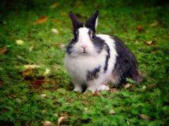 IMG_1854 little rabbit (pinktigger) Tags: rabbit autumn fall animal cute oasideiquadris fagagna feagne friuli italy italia ruby10
