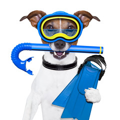 scuba dog (granja la luna) Tags: animal background bath beach blue bubble costume cute dive diver diving dog doggy equipment fin fitness fun funny gear glasses goggles holiday humor isolated jackrussell joke marine mask ocean pet plastic puppy rubber scuba snorkel snorkeler snorkeling sport sports summer swim swimwear terrier tropical underwater vacation water wearing white