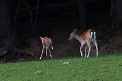 Exuberance of youth! (Fallow deer fawn and doe) (DP the snapper) Tags: wyreforest fawn doe jump fallowdeer wild