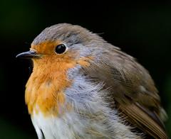 Robin Redbreast (Mukumbura) Tags: robin bird spring garden portrait closeup redbreast nature wildlife britain erithacusrubecula
