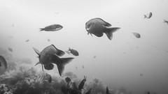 PA070506.jpg (Michael Bartosek) Tags: olympusepl3 catalinaisland olympus1442mm underwater catalina diving california pacificocean