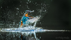 ... Gotcha ... (Grandpops Woodlice) Tags: kingfisher king fishing fish