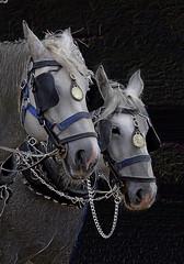 161008 - 4267a (Adrian Lacamp) Tags: heavyhorses lookingback heritage workinghorses beautifulanimals hayfarmheavyhorsecentre