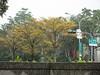 小葉欖仁金黃 (judie35) Tags: tree 木棉 水珠滾滾 雨天