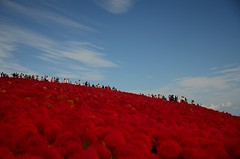 uphill (totomai) Tags: japan ibaraki colors kochia autumn hitachiseasidepark
