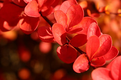 So Red (gripspix (Off 4 Recovery)) Tags: 20161017 leaves blätter laub autumn herbst autumnleaves herbstblätter impressions impressionen colorful bunt red rot bokeh