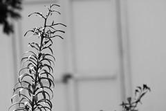 Lily (joeldinda) Tags: mulliken michigan home nikond500 2016 yard shed 3252 august flowers lily building d500 bw blackandwhite nikon monochrome