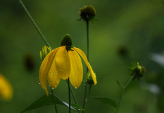 Sunshine on a rainy day (Violet aka vbd) Tags: pentax k3 vbd smcpentaxda55300mmf458ed me maine flower newengland yellow raindrops barharbor handheld manualfocus 2016 fall2016 explored