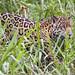 Jaguar and vegetation