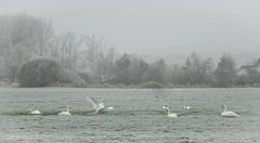 Sing- und Hckerschwne im ersten Frost (MaikeJanina) Tags: schwan swan frost nebel singschwan hckerschwan