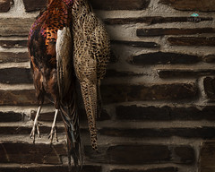 Pheasent Plucker (jpearce2307) Tags: pheasent bird game shoot shooting gamebirds field rural countryside hunting beater wildlife nature food realfood freshfood freshisbest feathers colours orange green red brick stone hanging nikon d800 nikonsb900 tamron 2470 28 softbox cameraleft