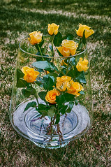 Yellow roses (Jan 1147) Tags: roos rozen yellow geel yellowroses rose roses bloemen bloem flower flowers belgium gelerozen