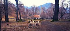 LAS OVEJAS DE LA PATAGONIA (Marina Balasini & Juan Montiel) Tags: argentina explore patagonia tourism viaje travel nature naturaleza