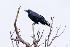 A scary outlook (Marco vdH) Tags: scary air bird white dead tree ominous black crow raven animal