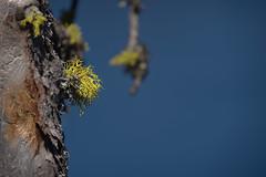 19474-fruticose lichen (oliver.dodd) Tags: craterlake oregon moss lichen wood deadwood fruticoselichen