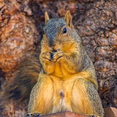Nut Muncher (suzeesusie) Tags: squirrel squirrels animal animals garden tree outdoors wildlife eating furry closeup foxsquirrel losangeles california face nature