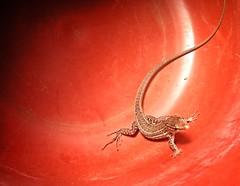 Risky business (Konakilo) Tags: lizard lagarto grancanaria