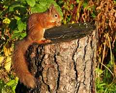 Red Squirrel (eric robb niven) Tags: red squirrel scotland wildlife nature fife forest