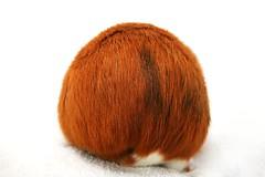 Boule de poils (Mariie76) Tags: animaux rongeur cobaye cochondinde petit mignon roux noir blanc derrière boule ronde rond poilue poilu poils drôle fun flynn