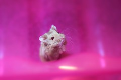 A rare capture of my dwarf hybrid Russian hamster, Willow.   #photography #hamster #pink #pet #colour #capture #cute (paris.havanna) Tags: photography hamster pink pet colour capture cute