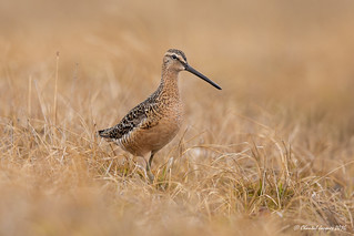 Long-billed dowitcher on the tundra