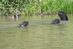 DSC_1284.jpg (riandar) Tags: brazil pantanal safari capybara wildlife mammals giantriverotters nature jaguarflotel