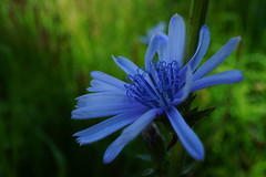 pretty blue wild flower