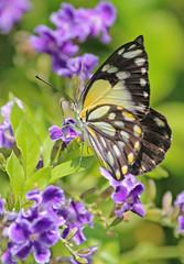 Caper White Butterfly 004 (DMT@YLOR) Tags: caperwhitebutterfly geishagirl flower purple ipswich queensland australia migration