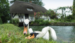 The Guardians of the Old Mill (Wild Nature.Photography) Tags: hampshire unitedkingdom itchen oldmill swans flatlight river bird swan hants mill perspective newarlesford england roses thatchedroof