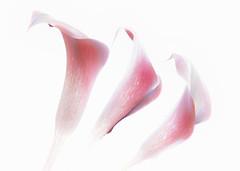 lilies loving light (Hal Halli) Tags: flowers florals three trio wallart artdigital coth magicuniverseverybest netartii stilllife