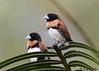 Chestnut-breasted Mannikin (Lonchura castaneothorax) (Greg Miles) Tags: chestnutbreastedmannikin alotau milnebay papuanewguinea lonchuracastaneothorax