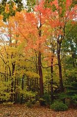 Autumn palette F (t. chen) Tags: trees foliage autumn fall colorful maple acer nature woods landscape vertical