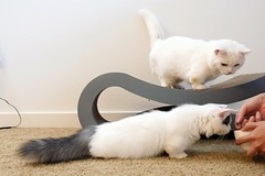 Kitten looks like snake (Goboogi.Munchkin) Tags:  kitten goboogi  cute gato munchkin  chobee  kitty cat
