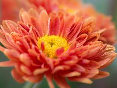 Chrysanthemum morifolium (++sepp++) Tags: natur graben bayern deutschland de chrysanthemummorifolium gartenchrysantheme blume flower blüte blossom nature closeup macro macroshot makro makroaufnahme regentropfen raindrops dewdrops droplets orange