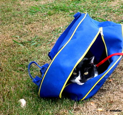 1.101 - Leo (esnalar) Tags: leo gato gatos felino felinos parque paseo mascota mascotas cat cats feline felines