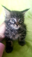 Cute Maine coon Kitten,two months (romeosilverpersian) Tags: kitten kittens mainecoon cat cats gattino gattini kitty cute throwback purebredcats tabbycats pets animalidomestici
