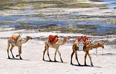 Making good use of Camel Advertising - Diani Beach, South Mombasa. (One more shot Rog) Tags: camel camels humpcamel humpsanimalsship desertwatercamel ridesdiani beachmombasakenyaafricasafaridesertsandysanddryroger sargent wildlife photographyone more shot rogcarryukundaafrican