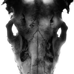 Deer Skull Study 002 (noahbw) Tags: d5000 nikon ryersonwoodsforestpreserve abstract autumn blackwhite blackandwhite bone bw decay decaying deer forest light monochrome natural noahbw shadow skull square woods