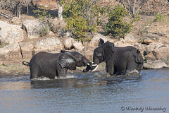 17-South_Africa-2016 (Beverly Houwing) Tags: africa drink elephant krugerpark phalaborwha southafrica wateringhole play scuffle wrestle