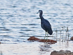 Little Blue Heron before sunrise 20161127 (Kenneth Cole Schneider) Tags: florida miramar westbrowardwca