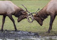 Bull elks fighting for a mud bath (Oleg S .) Tags: alaska travel usa animal zoo elk