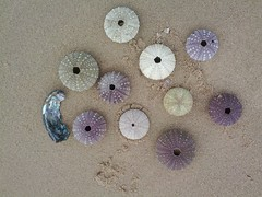 Sea Urchin shells on Point Cook Beach