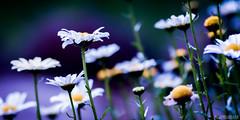 once upon a time you dressed so fine (elmofoto) Tags: white flower yellow petals spring fav50 bokeh violet fav20 bobdylan daisy fav30 gettyimages 1000v fav10 fav40 fav60 flickraward flickraward5 elmofoto lorenzomontezemolo