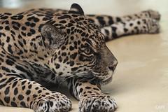 the sharp eye of a jaguar (cape) Tags: portrait animal zoo nikon handheld cape jaguar nikkor 105mm d90 pantheraonca nikond90 cape afsmicro105mm afsmicro105mmf28gvr