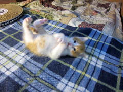 breakdance (Jimmy Legs) Tags: street cats goofy kittens malibu playful bushwick adoptable onemonthold